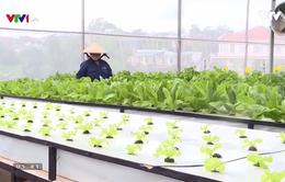 Nông dân Đà Lạt trồng rau xanh... bằng không khí