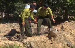 Quảng Nam: Thả cá thể khỉ đuôi lợn quý hiếm về rừng