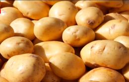 Nhập khẩu khoai tây Pháp không ảnh hưởng xấu đến thị trường trong nước
