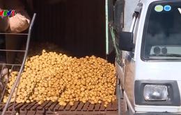 Giảm lượng khoai tây Trung Quốc nhập vào Đà Lạt