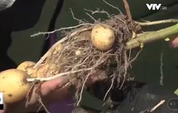 Làm rõ chất lượng khoai tây giống được hỗ trợ