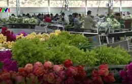 Ngành kinh doanh hoa tại Colombia bận rộn trước ngày Valentine