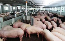 """Cục Chăn nuôi đưa ra đề xuất """"giải cứu"""" người nuôi lợn"""