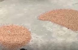 Hà Tĩnh: Hàng trăm tấn lạc chất đống không có người mua