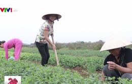 """Nghĩa Trai - """"Làng dược liệu"""" độc nhất vô nhị ở Việt Nam"""