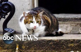 Những đặc điểm thú vị của mèo Larry nước Anh