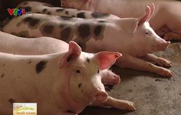 Xây dựng chuỗi liên kết để tăng sức cạnh tranh trong chăn nuôi lợn