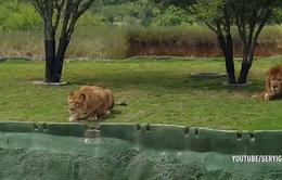 """Định tấn công du khách hiếu kỳ, chú sư tử bất ngờ dính một """"vố"""" đau"""