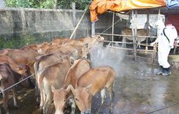 Phát hiện bệnh lở mồm long móng trên đàn bò tại Quảng Nam
