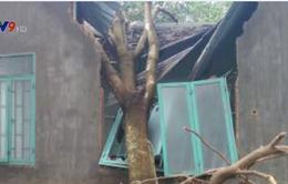Bình Phước: Lốc xoáy làm nhiều diện tích cây hồ tiêu, cao su bị gãy đổ