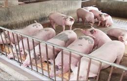 Giá lợn, gà tăng nhưng người chăn nuôi vẫn thấp thỏm
