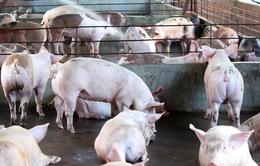 Nhiều trang trại nuôi lợn giảm đàn do giá xuống thấp