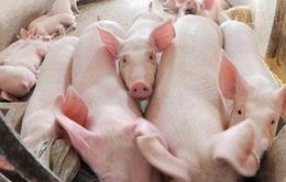 Giá lợn hơi tiếp tục giảm sâu
