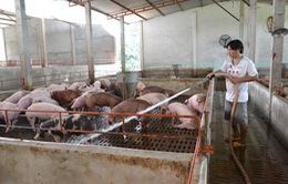 Người chăn nuôi xã Tân Lập xoay xở khi giá lợn xuống thấp