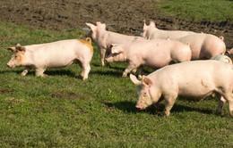 Canada vượt Mỹ về xuất khẩu thịt lợn sang Trung Quốc