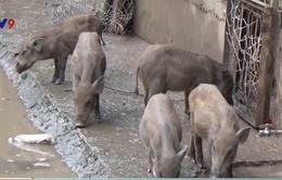 Bạc Liêu: Đàn lợn rừng bị bỏ đói trong khu du lịch