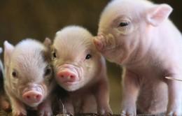 Cơ hội cấy ghép nội tạng lợn cho người