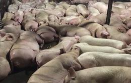 Đề xuất tiêu hủy gần 4.000 con lợn bị tiêm thuốc an thần