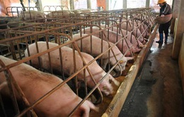 Giá lợn tại miền Bắc tăng nhẹ