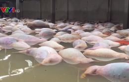 Thanh Hóa: Tìm mọi biện pháp xử lý hơn 5.000 con lợn chết trong lũ