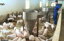 Giá lợn giống giảm còn 100.000 đồng/con
