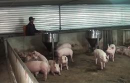 Nghệ An: Thịt lợn rớt giá, trang trại thua lỗ tiền tỷ