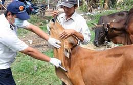 Hà Tĩnh khống chế dịch lở mồm long móng trên đàn trâu bò