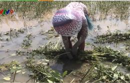 Người dân An Giang thu hoạch hoa màu trong nước lũ