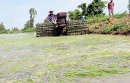 TT-Huế: Nhiều diện tích lúa thiệt hại do xâm nhập mặn