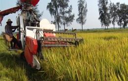 Lúa Hè Thu sớm lãi từ 15 - 17 triệu đồng/ha