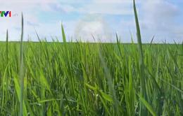 Đồng Tháp khuyến cáo người dân không gieo sạ lúa vụ 3 ngoài đê bao