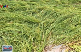 Vĩnh Long: Gần 1.000ha lúa đổ ngã do mưa lớn