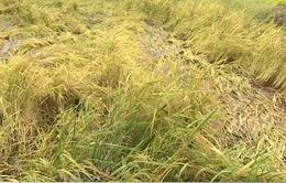 Mưa dông gây nhiều thiệt hại cho sản xuất nông nghiệp khu vực Nam Bộ
