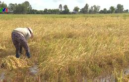 An Giang: Người dân thu hoạch lúa chạy lũ