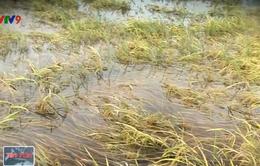 Lúa Hè Thu ĐBSCL bị thiệt hại nặng do ngập úng