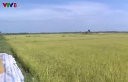 Quảng Trị phát triển mạnh mô hình lúa sạch chất lượng cao