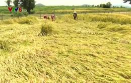 Phú Yên ổn định lương thực vùng đồng bào dân tộc thiểu số