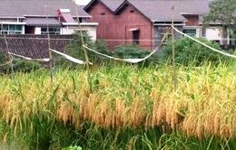 Trung Quốc nuôi trồng thành công giống lúa khổng lồ
