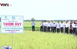 Miền Trung có thêm dòng sản phẩm gạo hữu cơ