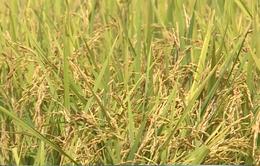 Giá lúa tăng nhờ xuất khẩu gạo thuận lợi
