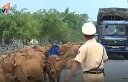 CSGT hàng ngày lùa bò đảm bảo an toàn giao thông