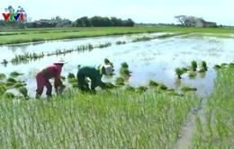 Nông dân Bến Tre bất chấp khuyến cáo vẫn trồng 3 vụ lúa