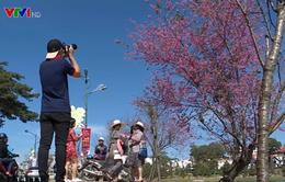 Chụp ảnh với mai anh đào đẹp quyến rũ tại Đà Lạt