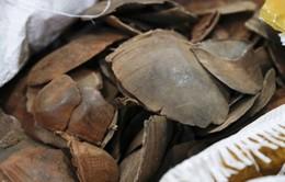 Malaysia thu giữ lượng lớn ngà voi, vẩy tê tê