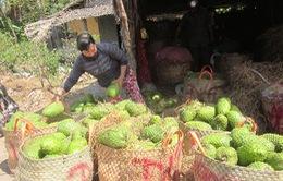 Tiền Giang: Người dân không bán được mãng cầu vì xe tải bị cấm qua phà