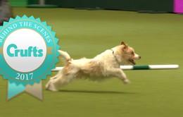 Màn trình diễn ấn tượng của chú chó Olly tại Crufts Dog Show