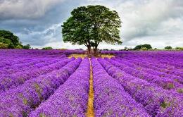 Mô hình kinh doanh vườn hoa oải hương ở Anh