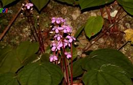 Tìm thấy loài thực vật mới của thế giới tại Việt Nam