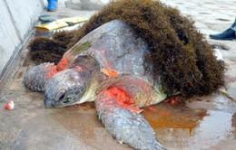 Nam Định: Cứu rùa biển bị thương trôi dạt vào bờ