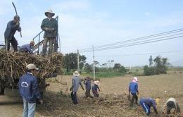 Vùng mía Phú Yên thất thu vì mưa kéo dài